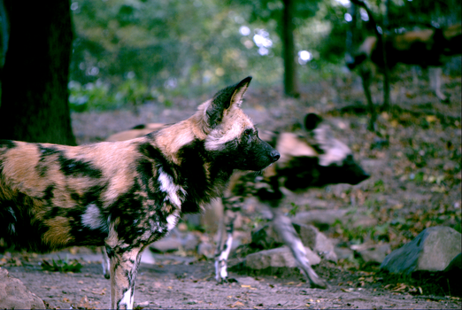 African Wild Dog 1 by Kaitouscookie