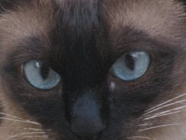 Close-up on a Siamese Cat by Hope555