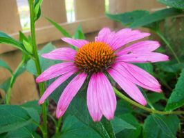 Cute Cone Flower by SwimmerGirl96