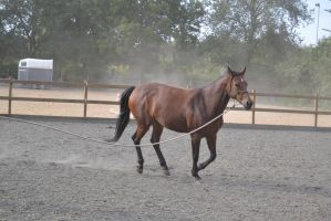 bay horse lunging canter by Bloodsoul-Stock