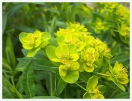 EUPHORBIA by Elass