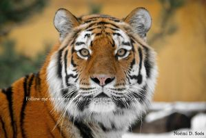 Siberian tiger by SosiNonoo