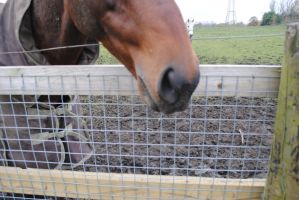 Horse Nose by emmys-stock