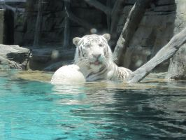 Stock: White Tiger 3 by equizotical