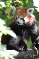 Red Panda Portrait by AF--Photography
