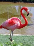 Flamingo At The Honolulu Zoo by Abasca