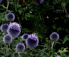 Globe Thistle by LadyShamisen