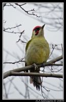 Green Woodpecker by andy-j-s