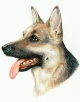 German Shepherd Dog Portrait by bigcatdesigns