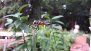 Dragonfly with Mites by rabbithat8