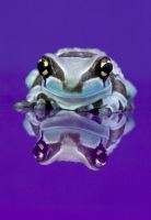 Frogs on purple perspex 1 by AngiWallace
