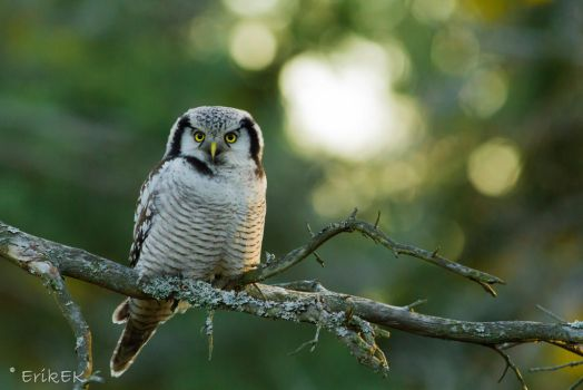 Northern Hawk Owl vol 2 by ErikEK