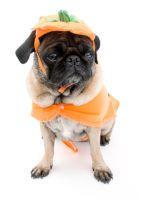 Pumpkin Pug by dosecreative