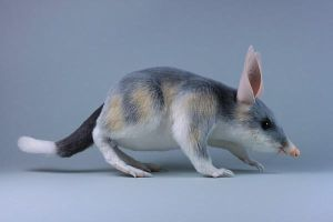 Ninu the Bilby by LisaAP