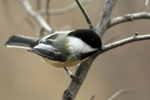 Chickadee again by sgt-slaughter