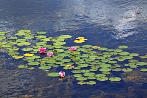 Water Lily by MyTini
