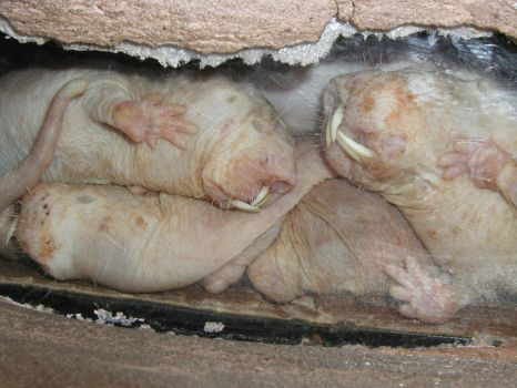 Naked Mole Rats by weaselboy