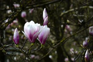 Magnolia 5. by Phototubby
