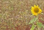 sunflower on buckwheat field by maslenkina