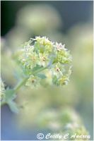 Lady's Mantle by CecilyAndreuArtwork