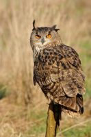 Eagle owl looking back by AngiWallace