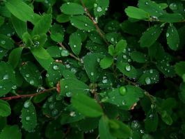 Water drops on leaves 11 by eco6org