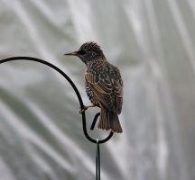 Starling by adambrowning