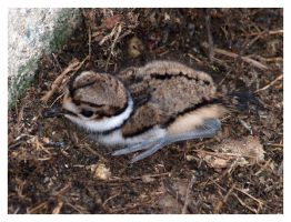 killdeer chick 01 by photom17