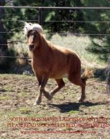 Flaxen Pony 02 by AstriexEquineStock