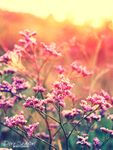 fragrant purple flower in the summer sunset out in by szdora91