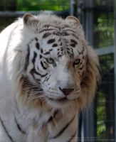 White Bengal Tiger by 8TwilightAngel8