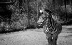 Cliched Black and White Zebra Photo? Yes! by Dewheart85