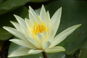 Water lilly 606 by fa-stock