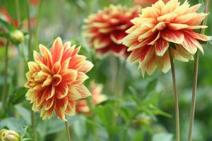 beautiful dahlias by ingeline-art