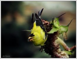 Lunch time........American Goldfinch..... by gintautegitte69