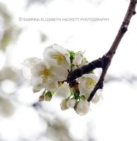 Sweet White Blossom by Hitomii