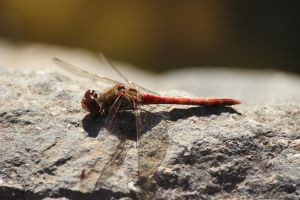 Dragonfly 3 - Southern Darter by wuestenbrand