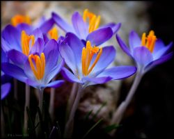 Crocus 2 by bamako