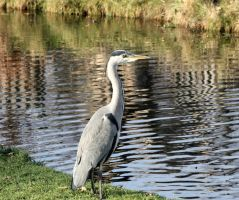 Heron Knowingly posing for the camera :D by jacksonsrus