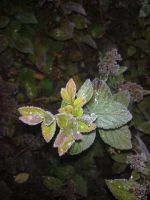 Frozen Leafs by chrysanthemus