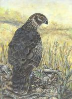 pallid harrier by acrylicwildlife