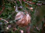 Wasp  Spider Nest - Autumn 2015 by TheFunnySpider