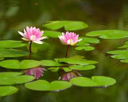 Water Lilly by EmptyHeartsBleedLess