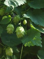 Hop Flowers 02 by botanystock