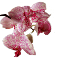 Orchid PNG stock by lubman