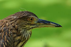 close-up of pond herons bird by a6-k