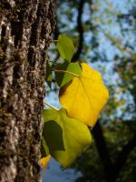 Yellow ivy leaf by TinyWild