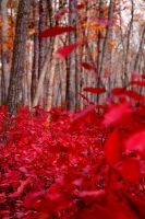 Blood Leaves by jeffreyverity