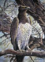 Martial Eagle 1 by WillemSvdMerwe