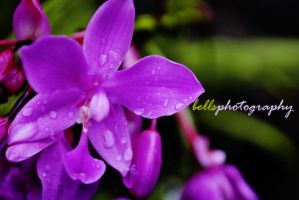 ORCHID AFTER THE RAIN by bells31ita